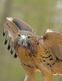 Red tailed hawk with wings spread. Royalty Free Stock Photos
