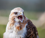 Red tailed hawk squawking Stock Image