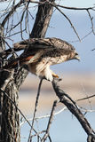 Red tailed hawk standing on a branch Royalty Free Stock Photography