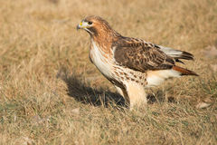 Red-tailed Hawk. Standing in the dead grass. Port Lands, Toronto, Ontario, Canada stock photography