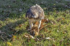 Red tailed hawk standing on dead squirrel it is eating with claws clutched around its head in grass with fall leaves stock photos