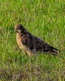 A Red Tailed Hawk standing in a field looking for it`s prey Royalty Free Stock Photo