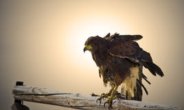 Red tailed hawk at sunset Stock Image