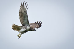 Red Tailed Hawk Taking Flight royalty free stock image