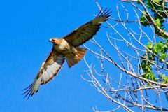 Red Tailed Hawk in Flight royalty free stock photography