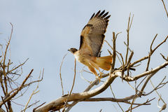 Red-tailed Hawk Taking Flight. A red tailed hawk jumps, about to soar off of a desert branch in Arizona on a cloudless day Royalty Free Stock Image