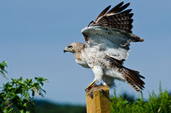 Red-Tailed Hawk Taking to Flight Stock Images