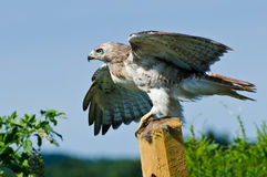 Red-Tailed Hawk Taking to Flight Royalty Free Stock Photo