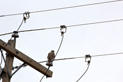 Red-Tailed Hawk in Telephone Lines. A Red-Tailed Hawk bird (Buteo jamaicensis) on telephone line pole royalty free stock image