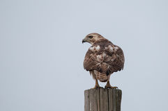 Red-tailed Hawk. On telephone pole stock photography
