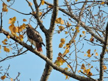 Red Tail Hawk in Tree. With Autumn approaching fast and less leaves on the trees,these swift and curious birds stand out!Such Distint,Brown,White,Black and Red Stock Photo