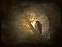 Red-tailed hawk on tree limb with texture Stock Photos