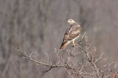 Red-tailed Hawk on Treetop. A red-tailed hawk clutches its talons to the top of a barren autumn tree. Its head turned overlooking its auburn red tail stock photography