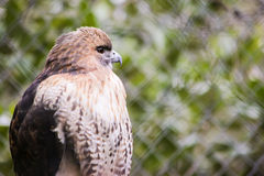 Red Tailed Hawk. An up close view of a red tailed hawk Royalty Free Stock Photo