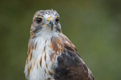 Red tailed hawk Royalty Free Stock Photos