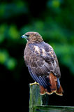 Red-tailed Hawk on watch Royalty Free Stock Photography