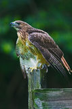 Red-tailed Hawk on watch Royalty Free Stock Photo