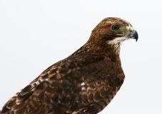 Red-tailed Hawk on White Royalty Free Stock Images