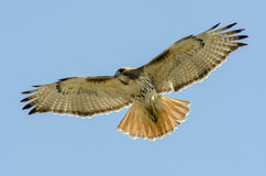 Red tailed hawk wide open wings Stock Photo