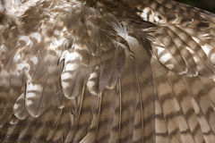 Red tailed Hawk Wing Stock Image