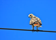 Red-tailed Hawk on a Wire. A single immature Red-tailed Hawk (Buteo jamaicensis) is perched on a wire against a bright blue sky Royalty Free Stock Photo