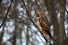 Red Tailed Hawk in the Woods Royalty Free Stock Photography