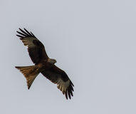 Red Tailed Kite. Recently reintroduced to England Red Tailed Kite at Postcombe in Oxfordshire stock photo