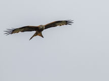 Red Tailed Kite. Recently reintroduced to England Red Tailed Kite at Postcombe in Oxfordshire stock photography