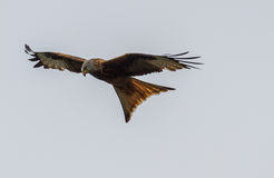 Red Tailed Kite. Recently reintroduced to England Red Tailed Kite at Postcombe in Oxfordshire royalty free stock images