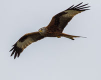 Red Tailed Kite. Recently reintroduced to England Red Tailed Kite at Postcombe in Oxfordshire royalty free stock photography