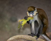 Red-tailed monkey Royalty Free Stock Image