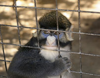 A Red-tailed Monkey Gazes Out from its Cage Stock Photo