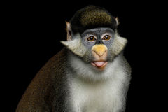 Red-tailed Monkey Stock Photos