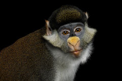 Red-tailed Monkey. Portrait of Red tail monkey, or Schmidt`s guenon Cercopithecus ascanius ape Isolated on Black Background stock photo