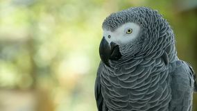 Red-tailed monogamous African Congo Grey Parrot. Companion Jaco is popular avian pet native to equatorial region. Red-tailed monogamous African Congo Grey
