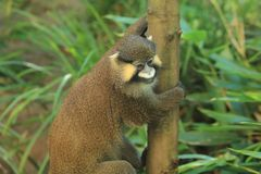 Red-tailed moustached monkey. Holding the trunk Royalty Free Stock Photos