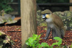 Red-tailed moustached monkey. The red-tailed moustached monkey sitting on the soil Royalty Free Stock Image