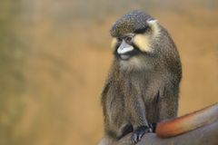 Red-tailed moustached monkey. Sitting on the wood Stock Image