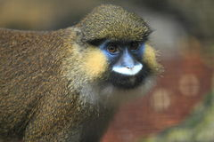 Red-tailed moustached monkey. The upper body of red-tailed moustached monkey Royalty Free Stock Images