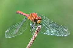 Red-Tailed Pennant Stock Image