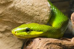 Red Tailed Racer Royalty Free Stock Image