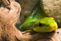 Red Tailed Racer Stock Photography