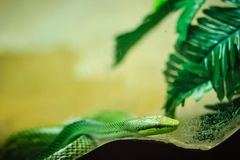 Red-tailed Racer snake (Gonyosoma oxycephalum). It is an arborea Royalty Free Stock Photography