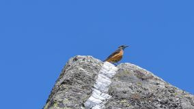 Red-tailed rock on top of the rock, in summer. In June royalty free stock photos