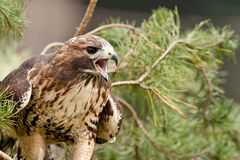 Red tailed scream Royalty Free Stock Photography