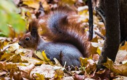 Red tailed squirrel in Hills surrounding Kiev royalty free stock images