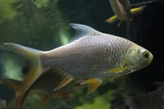 Fish : Red tailed tinfoil barb Barbonymus altus. The red tailed tinfoil Barbonymus altus is a species of freshwater cyprinid fish from South-East Royalty Free Stock Photos