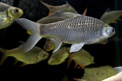 Fish : Red tailed tinfoil barb Barbonymus altus. The red tailed tinfoil Barbonymus altus is a species of freshwater cyprinid fish from South-East Royalty Free Stock Photo