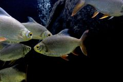 Fish : Red tailed tinfoil barb Barbonymus altus. The red tailed tinfoil Barbonymus altus is a species of freshwater cyprinid fish from South-East Stock Image