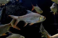 Fish : Red tailed tinfoil barb Barbonymus altus. The red tailed tinfoil Barbonymus altus is a species of freshwater cyprinid fish from South-East Stock Photo